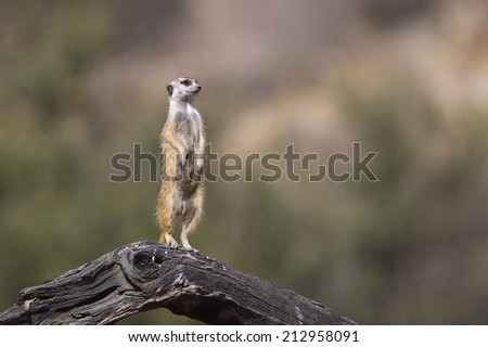 A Meerkat stood upright on a dead log on lookout duty against a blurred natural background, Kalahari Desert, South Africa - stock photo