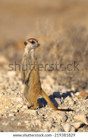 A Meerkat stood upright on lookout duty against a blurred natural background, Kalahari Desert, South Africa