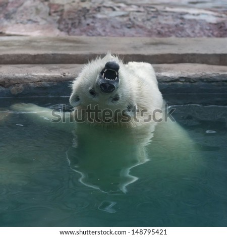 A menacing polar bear cub in upside down position. A young white bear is enjoying in pool, showing his fangs. Unusual look at the world of a dangerous beast. - stock photo