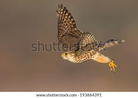 A Merlin aka Ladyhawk launching from a perch. - stock photo