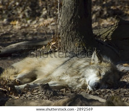 A mexican wolf caught sleeping in the sun - stock photo