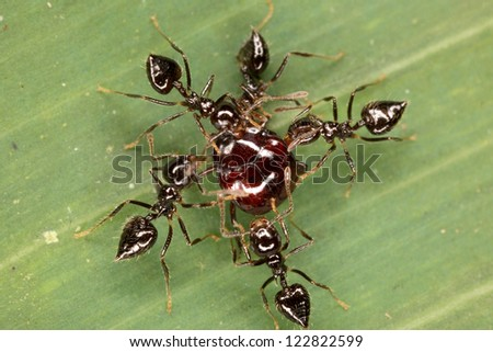 A micro-battle. An ants attacked the beetle. Fauna of Rain forest of Ecuador. - stock photo