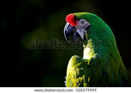 A military macaw (Ara militaris). - stock photo