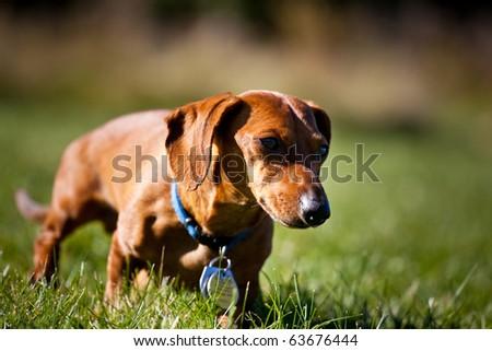 A miniature Dachshund as he walks through the grass. - stock photo