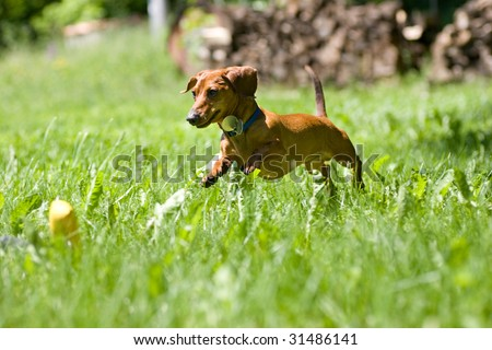 A miniature dachshund in mid stride, as he jumps through the tall grasses towards his toy. - stock photo