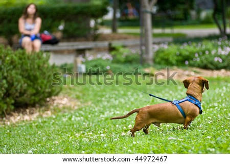 A miniature Dachshund in the grass with a long leash leading to a woman in the distance, sitting on a bench. - stock photo