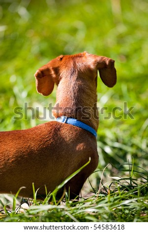 A miniature Dachshund, in the tall grass, looking away from the camera, highlighting his floppy ears. - stock photo