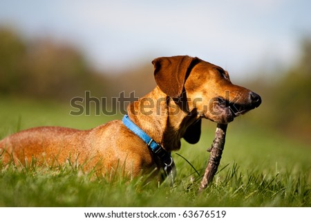 A miniature Dachshund lying in the grass, chewing on a stick. - stock photo