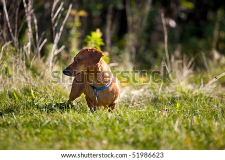 A miniature Dachshund posing in the grass. - stock photo