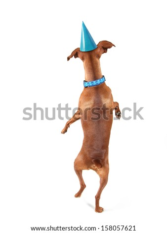a miniature pinscher looking up with a party hat on - stock photo