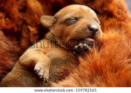 A miniature Pinscher puppy, 5 days old. - stock photo