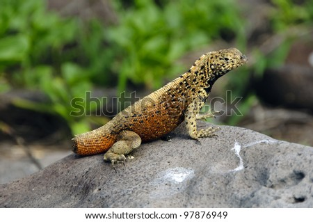 A missing tail reveals this lava lizard from the Galapagos islands to have been attacked by a predator.  Lava lizards will detach their tails when attacked in order to distract the predator. - stock photo