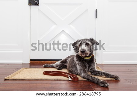 A mixed breed adult dog laying down in front of a front door in a home while patiently waiting to go for a walk - stock photo