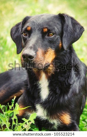 A mixed breed dog laying on the grass (shallow dof)