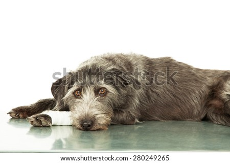 A mixed breed dog with an injury on her leg laying down of a steel hospital exam room table - stock photo