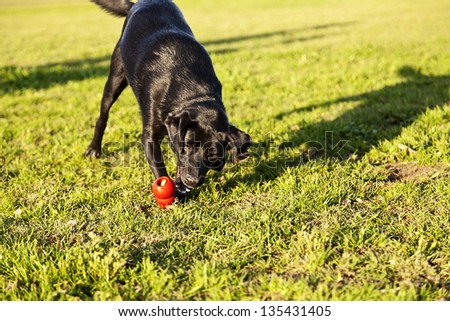 A mixed Labrador dog caught in the middle of catching a red rubber chew toy, on a sunny day at an urban park. - stock photo