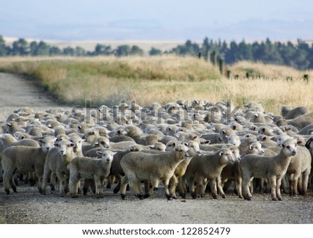 A mob of hoggets being mustered for the first draft of the season. Central Otago, New Zealand. - stock photo