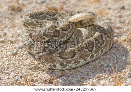 A mojave green rattlesnake (Crotalus scutulatus) found in the Mojave desert of California.