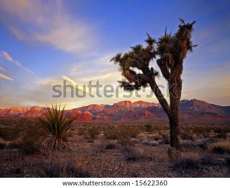 A Mojave Yucca plant in the desert that is part of the Red Rocks Conservation Area in Nevada. - stock photo