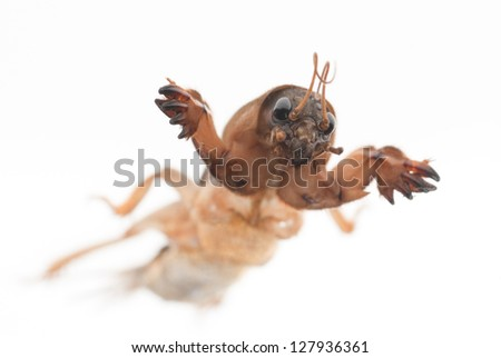 a mole cricket isolated on white background - stock photo
