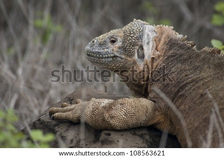 A molting land iguana slowly makes its way over a rock in the Galapagos Islands - stock photo
