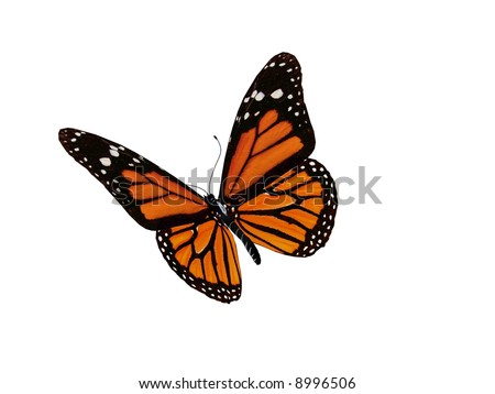 A monarch butterfly - stock photo