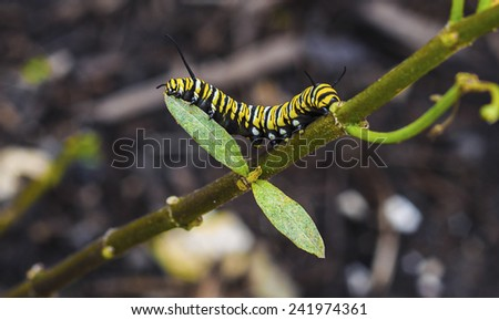 A Monarch Butterfly caterpillar feeds on leaves of a milkweed. - stock photo