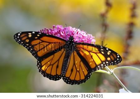 A Monarch Butterfly (Danais plexippus) obtaining nectar from a butterfly bush - Grand Bend, Ontario, Canada  - stock photo