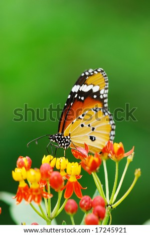 A monarch butterfly on flower. - stock photo