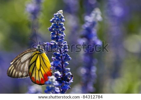 A Monarch Butterfly On Violet Flower Nature light - stock photo