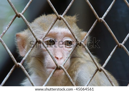 A monkey is looking at something in sad eyes. - stock photo