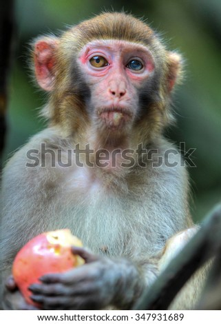 A monkey pauses from eating his apple at a park in Zhangjiajie.
