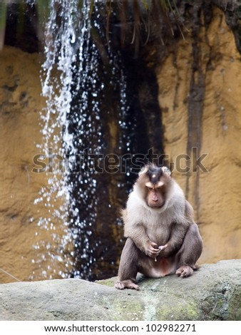 A monkey (pig tailed macaque) masturbating at a rock inside Taipei zoo. - stock photo