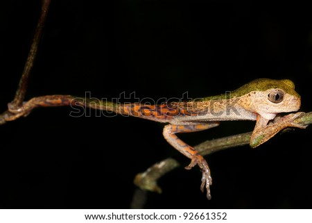 A Monkey Treefrog (Phyllomedusa palliata) relaxing in the Peruvian Amazon