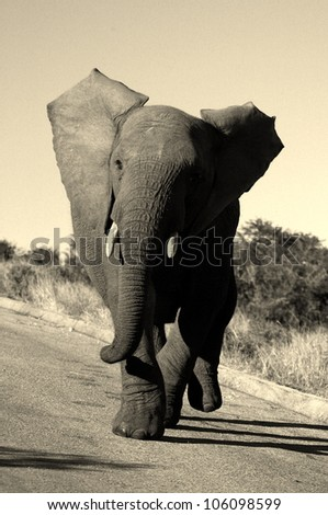 A monochrome action shot of a elephant bull charging my vehicle in Addo elephant national park,eastern cape,south africa - stock photo