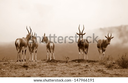 A monochrome photo of a herd of blesbuck antelope with a misy mountain as the background. Taken in South Africa. - stock photo