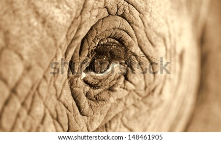A monocrome sepia tone close up photo of a elephants eye, eyelashes, wrinkles and face. Taken in South Africa.  - stock photo