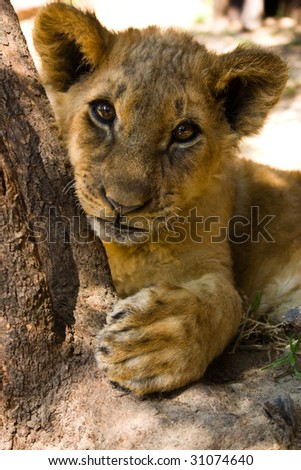 a 3 month old lion cub look curiously at the camera - stock photo