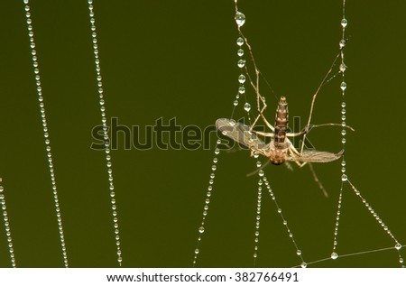 A mosquito caught in a dew covered web - stock photo