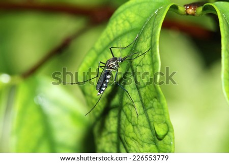 A mosquito on leaf - stock photo