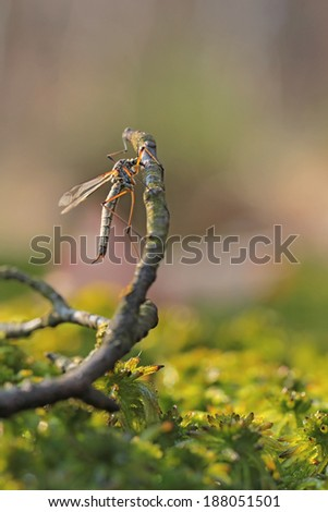 A mosquito resting - stock photo