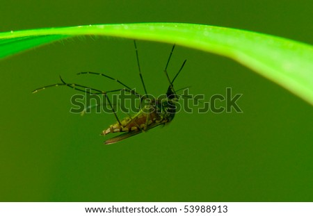 A mosquito resting on a blade of grass - stock photo