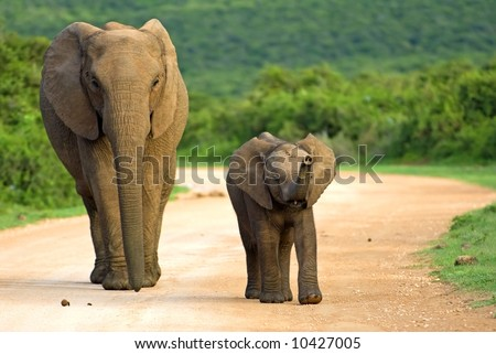 A mother and baby Elephant approach my vehicle - stock photo