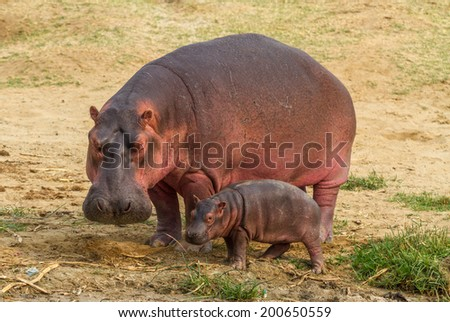 A mother and baby hippo near the Kazinga Channel in Uganda. - stock photo