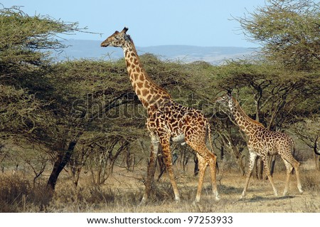 A mother and her baby giraffe standing amongst acacia trees - stock photo