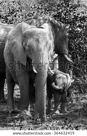 A mother and her calf standing in the shade on a hot summers day in Kruger national park - stock photo