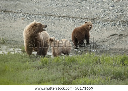 A mother brown bear calls to her third cub. - stock photo