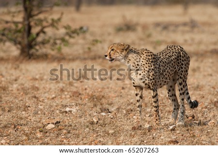 A mother cheetah on the hunt - stock photo