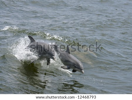 A mother dolphin jumping out of the water with her calf.