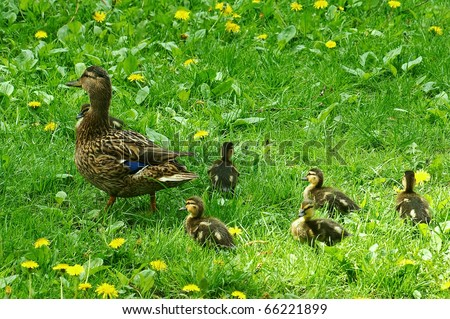A mother duck walking with her five ducklings - stock photo
